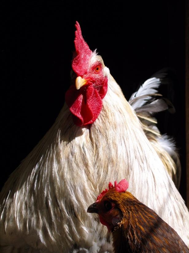 Maatilamatkailua, kanat, kukko, Jusalan tila, Salo